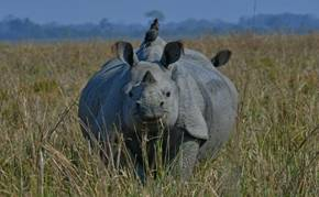 Rhinoceros in Kaziranga 1