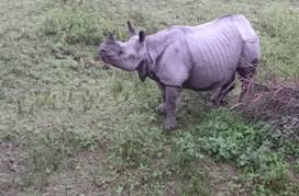 Rhinoceros in Kaziranga 2