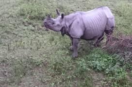 Rhinoceros in Kaziranga 2