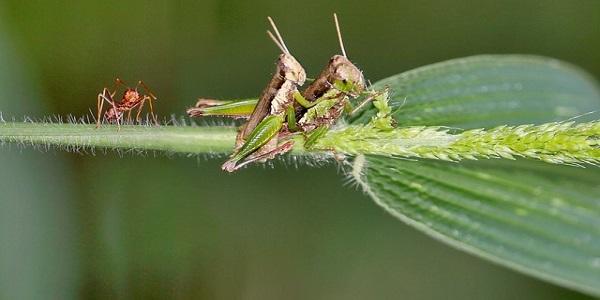 mating grasshopper ants kerengga